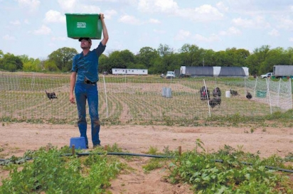 Don hoisting a bin of sugar snap peas at his Bootstrap Farm.